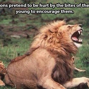 Fact about Lions