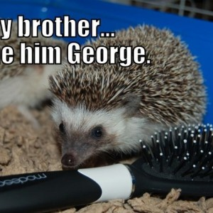 Hedgehog Meme