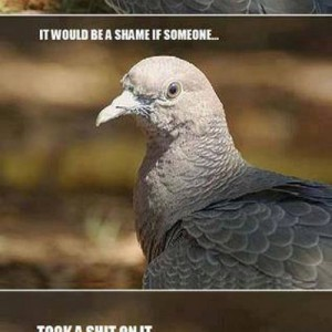 Pigeon Chronicles