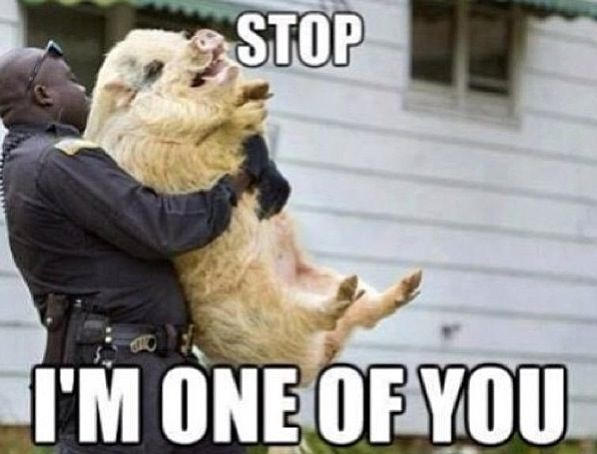 funny pig quotes