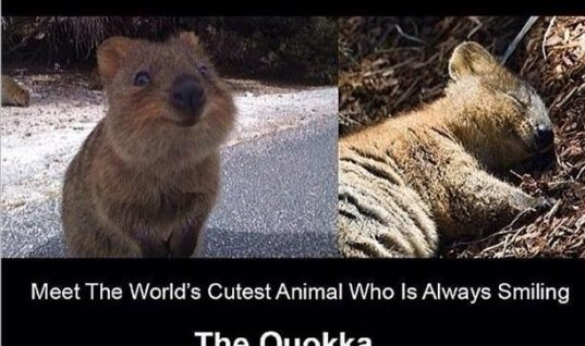 The Quokka