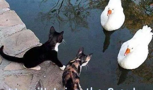Cat - Duck Dealings