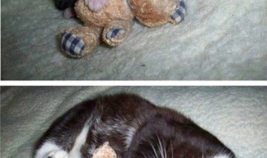 Cat's Teddy