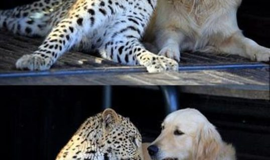 Cheetah And Doggy