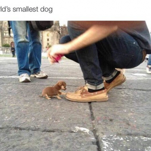 Smallest Dog