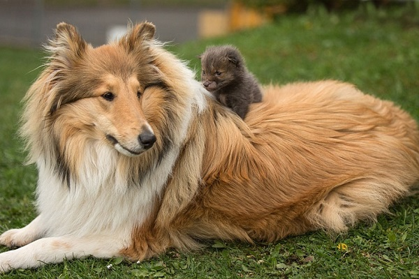 Baby fox adopted by collie