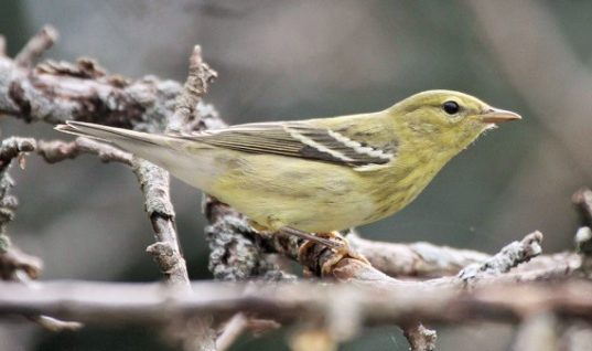 Tiny Songbird Flies 1.700 Miles