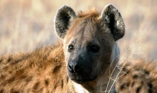 Hyenas: Facts Behind the Myth