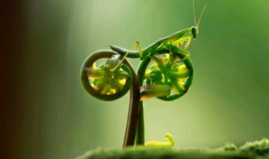 A praying mantis rides a natural bicycle