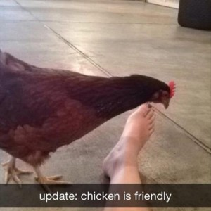 Chicken Is Friendly