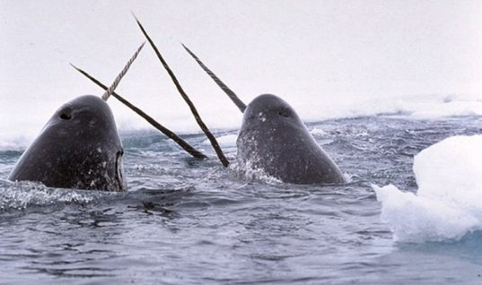 Narwhals, the Mysterious Sea Unicorns