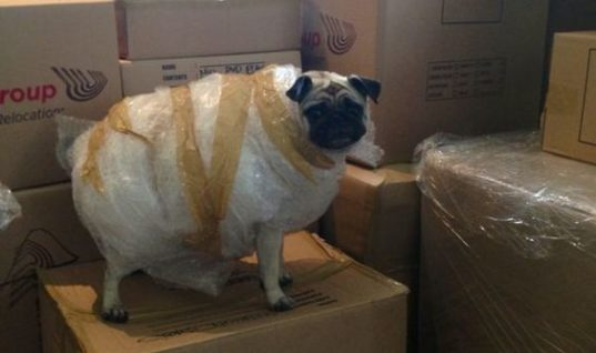 Bubble Wrap Pug
