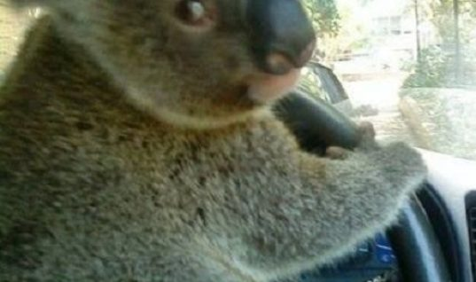 Koalafied To Drive