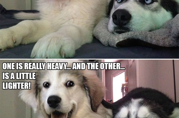Meme Funny Husky Dogs : Difference between hippo and zippo funny pictures quotes memes