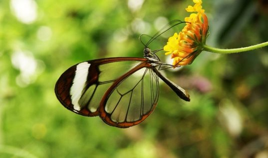 The Fascinating Glasswinged Butterfly