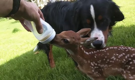 Baby Deer Falls in Love With Human Rescuer
