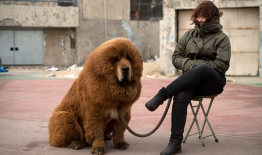 Interesting Facts about the Tibetan Mastiff
