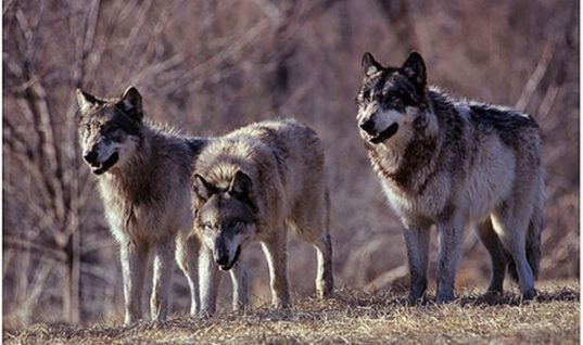 How Wolves Change the Balance of an Ecosystem – Yellowstone National Park Case