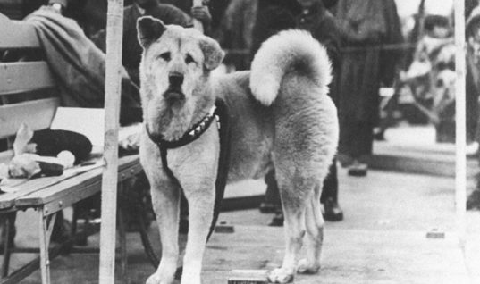 Hachiko Dog Is Loyal Beyond Death