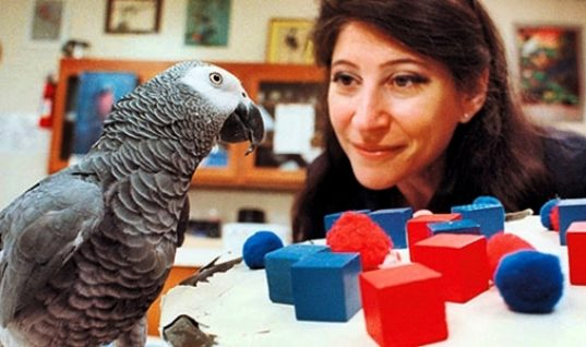 Alex, the Immortal African Grey Parrot