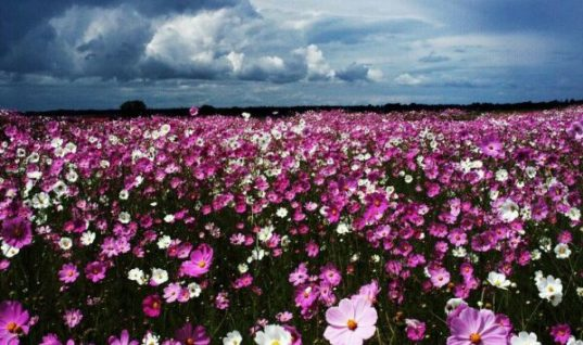 Field of Flowers and a Cloudy Sky