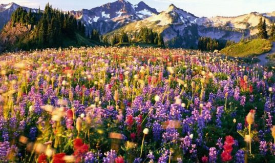 Flowers on Mount Rainier