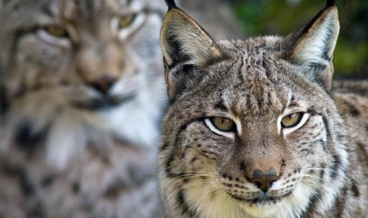 Iberian Lynx – The World's Most Endangered Cat