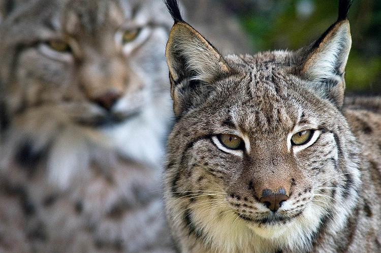 Iberian Lynx big cats iberian lynx the world's most endangered cat funny pictures