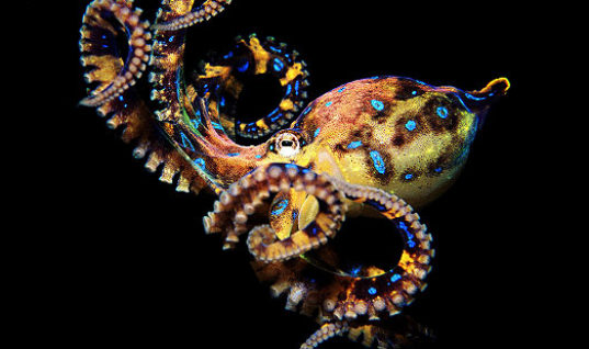 The Most Poisonous Octopus in the World