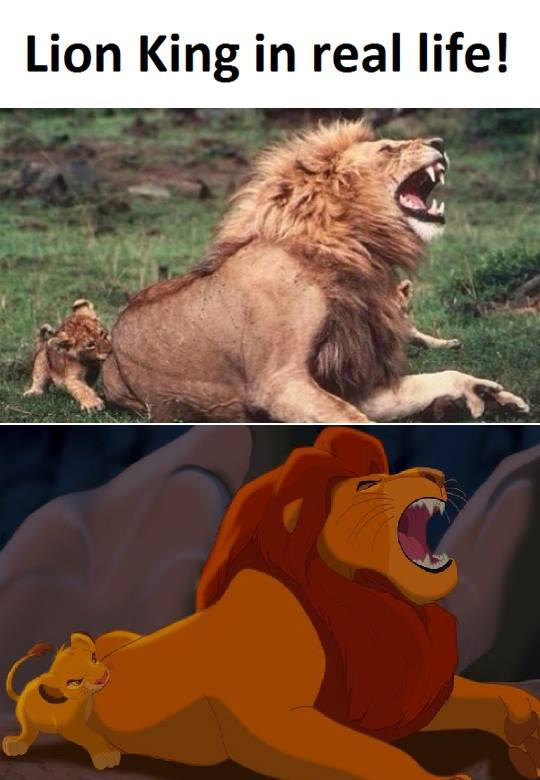 Lion king funny condom meme can