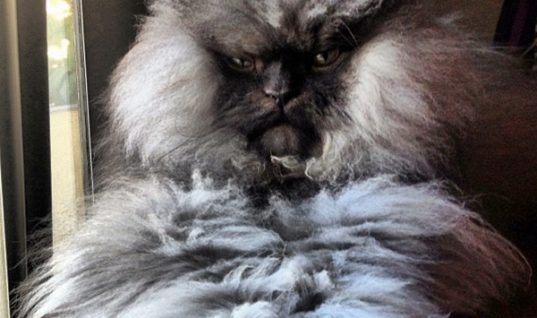 Colonel Meow, the Cat with the Longest Fur