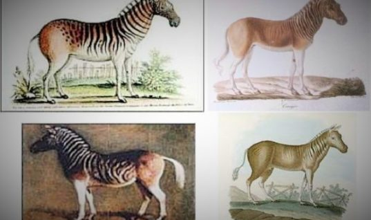 The Quagga is a Beautiful, Extinct Animal