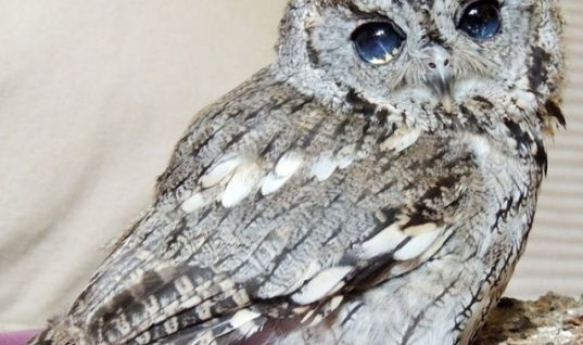 Zeus, the Owl with Stars in His Eyes