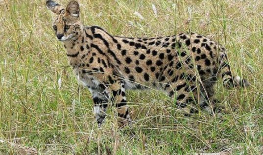 Servals: The Tall Wild Cats of the Sahara