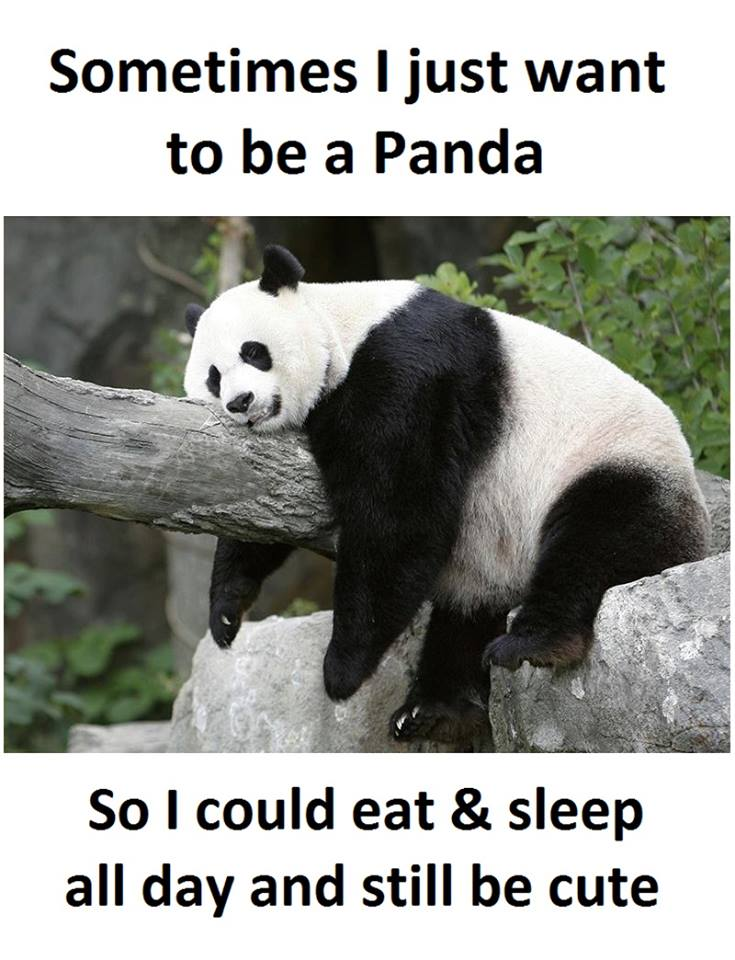 Panda Quotes Simple I Want To Be A Panda  Funny Pictures Quotes Memes Funny Images