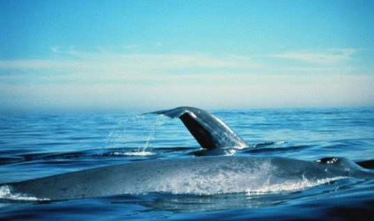 Largest Animals in the World: Blue Whales