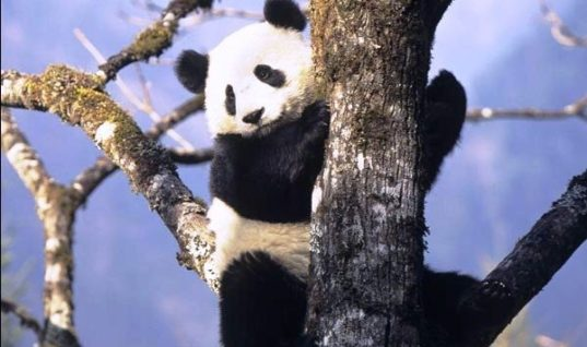 China's Pride: The Giant Panda