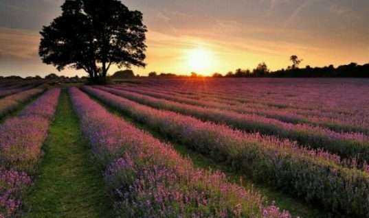 Wonderful lavender field