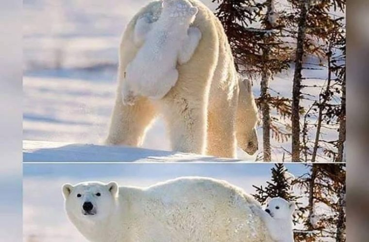 Baby Polar Bear Funny Pictures Quotes Memes Funny Images Funny