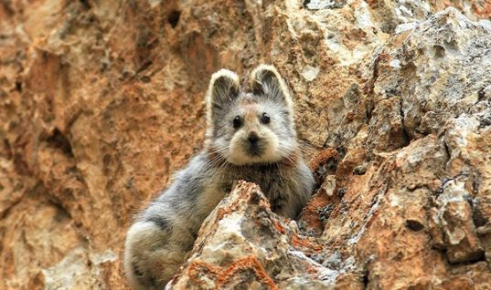 Ili Pika Appeared After 20 Years