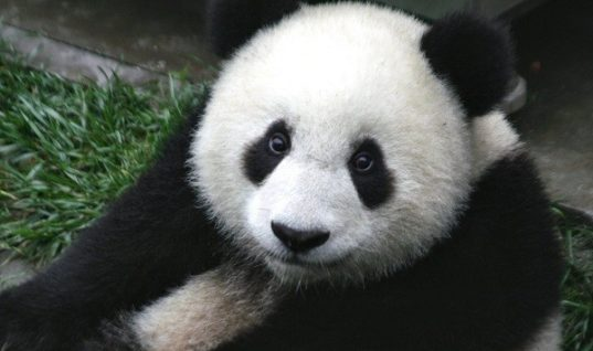 Three Facts about Pandas