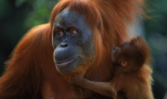 Sumatran Orangutan: an Endangered Species
