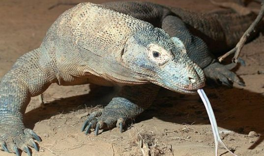 Komodo Dragon: The Largest Lizard on Earth