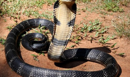 Five Less-Known Facts about the King Cobra