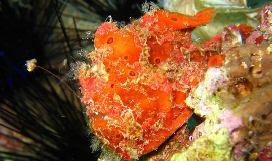 Frogfish: Masters of Disguise