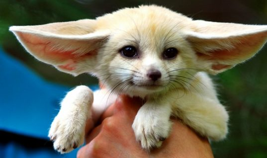 Fennec Fox, a Sweet Exotic Pet