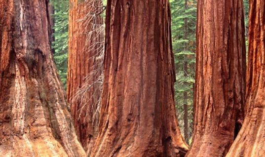 The Great Sequoia Trees
