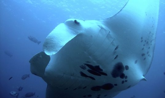 7 Interesting Things About the Manta Rays