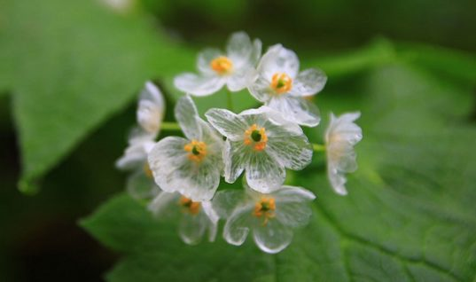 Skeleton Flower Is Turned Transparent by Rain