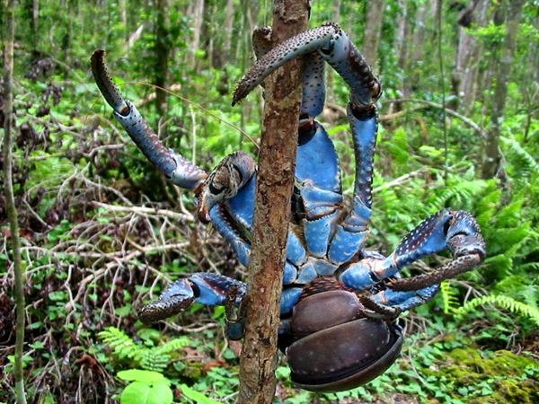 Coconut Crab blue